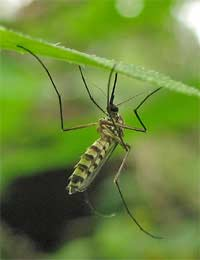 Mosquito Repellents and Organochlorides